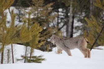 Lynx!