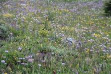 Wildflowers - Healy Meadows